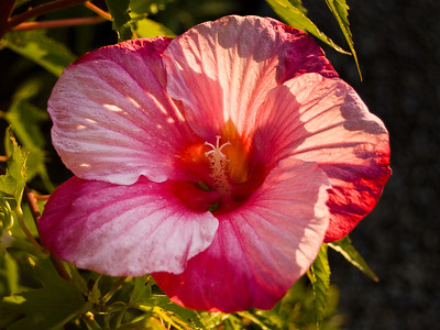 Hibiscus is a genus of flowering plants in the mallow family. It is quite large, containing about 200–220 species that are native to warm, temperate, subtropical and tropical  regions throughout the world. Member species are often noted for their showy flowers  and are commonly known as hibiscus he genus includes both annual and perennial herbaceous plants, as well as as well as woody shrubs and small trees.
