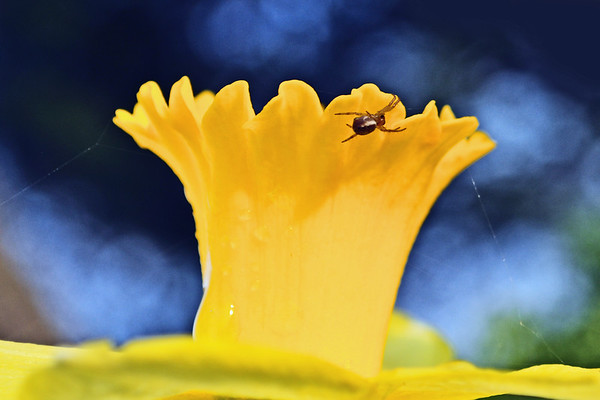 Little spider making his home on a yellow daffodil.