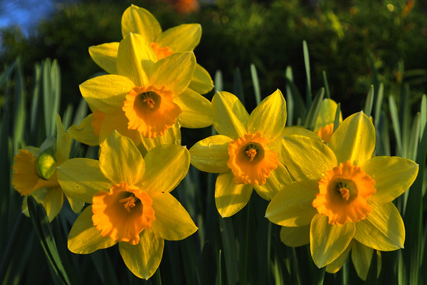 Yellow daffodils in the sunset.