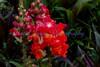 Solstice Orange Tricolor Snapdragon