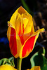 waterlily tulip