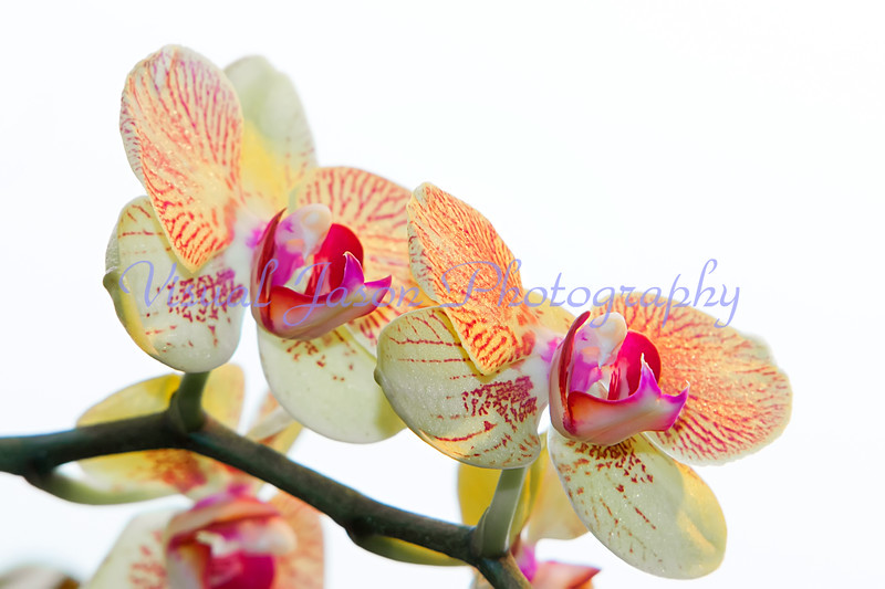 orchids with text space