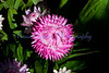 Dreamtime jumbo strawflower<br /> Bracteantha bracteata