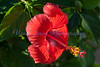 afternoon  hibiscus