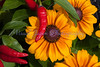 daisies and chili peppers