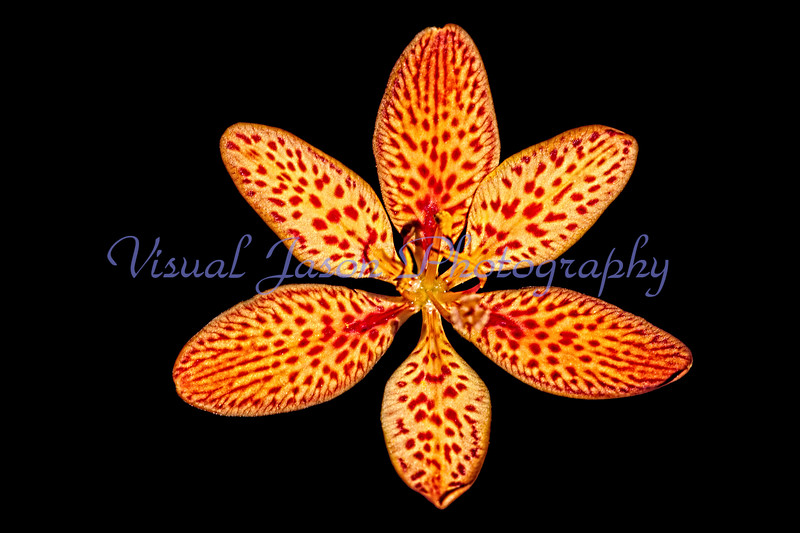 Freckle faced blackberry lily