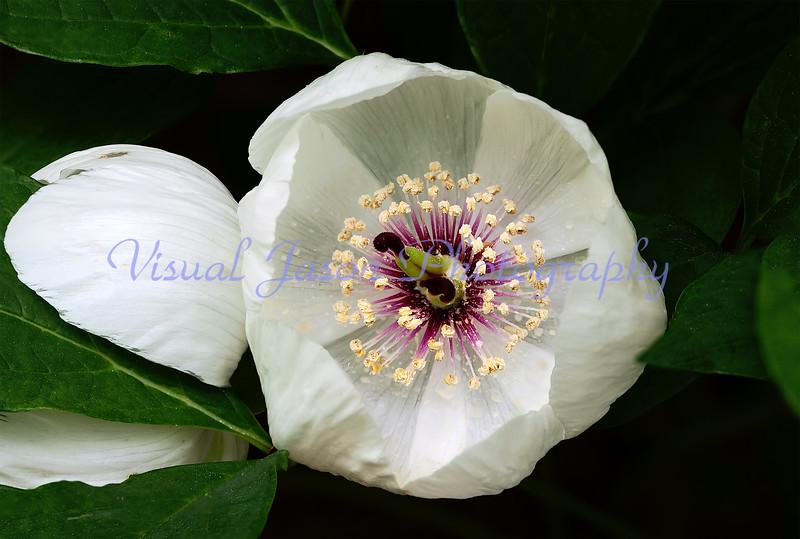 Japanese Peony<br /> Paeonia oblavata