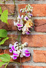 corkscrew plant (pea family)