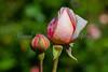 rosebuds, ready for gathering