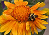 """A bumble bee enjoying a flower located at Morning Glory Garden Shop in Colorado Springs, Colorado. See the store location on Google Places at: <br /><small><a href=""""https://maps.google.com/maps?ie=UTF8&cid=8153206682669508723&q=Morning+Glory+Garden+Shop&gl=US&hl=en-US&t=h&ll=38.895484,-104.750776&spn=0.004008,0.006866&z=17&iwloc=A&source=embed"""" style=""""color:#0000FF;text-align:left"""">View Larger Map</a></small>"""