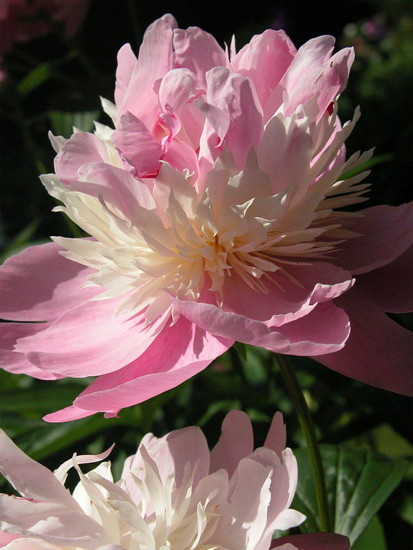 Peony from Aunt Helen's Yard