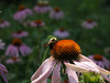 Bees and Echinacea : Bumblebees on Echinacea flowers