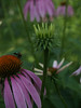 Japanese beetle on Echinacea