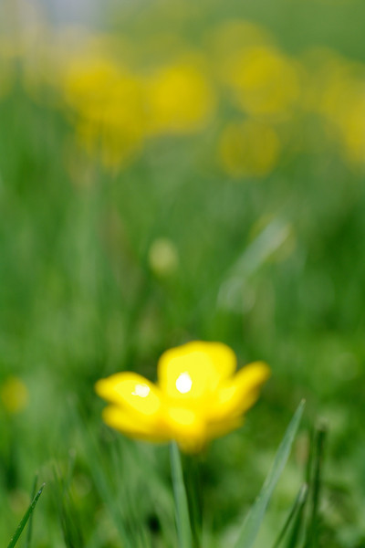 water color buttercups