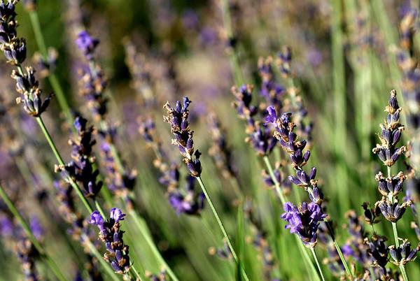 WA_Lavender
