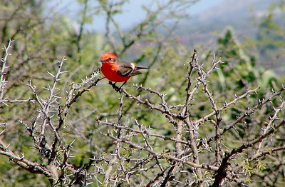 A vermillion flycatcher near the village. They loved the barren fields.