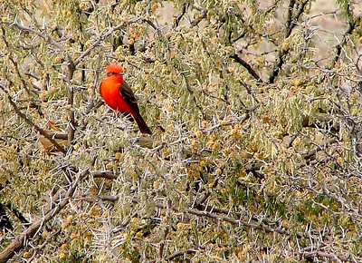 Another vermillion flycatcher in winter brush.