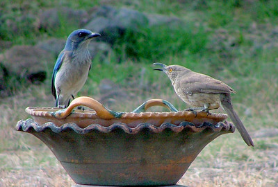 A thrasher and a jay drink uneasily together.