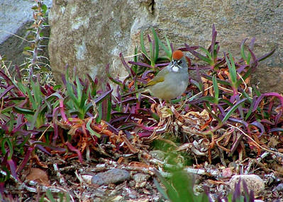 A green tailed towhee in the ice plant.