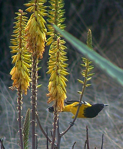 The Scott's oriole, male.