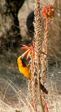 A hooded oriole loves the red aloe blossoms.
