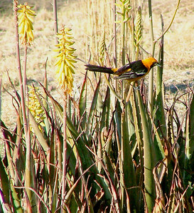 The hooded oriole would only come if the Scott's was not around.