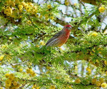 A finch on the huisache. The leaves are coming out.