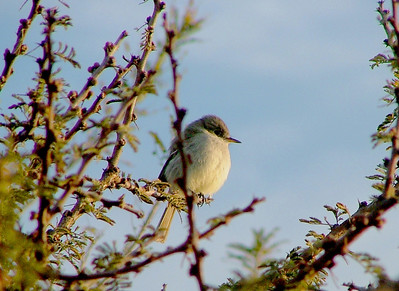The little flycatcher again.