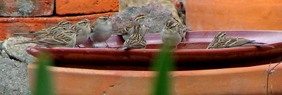 Chipping sparrows love the water dish.