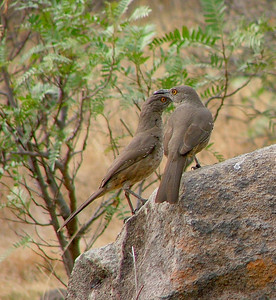 A pair of curve billed thrashers.