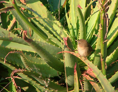 a little wren in the aloes.