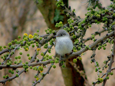 Here is the little gray flycatcher in the winter on the same branch. I took this through the window.