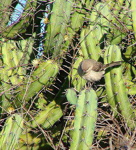 A mockingbird fiercely defends his territory.He is on the big garumbola cactus, see the little blossoms? They smell like lemon blossoms.