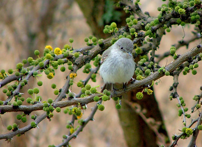 The same guy.The little gray flycatcher spent the winter with us. This is the same branch this bird used all winter.