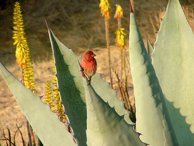 A house finch on the agave plant.