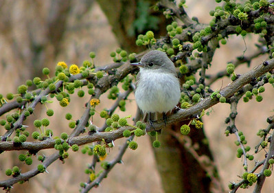 The gray flycatcher. This little guy has so much personality that we missed him when he was gone. It could also be a female.