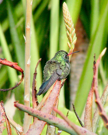 This broad billed hummingbird male would sit on this branch every morning to warm up in the sun.