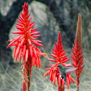 The photo shows the red aloes in bloom. They stop blooming shortly after we arrive.