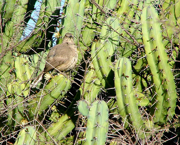 A thrasher all puffed up, sitting on the cactus.He is looking for insects.