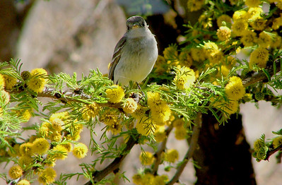 This looks like the little gray flycatcher all grown up, but it may also be another bird. It is the same branch, though.