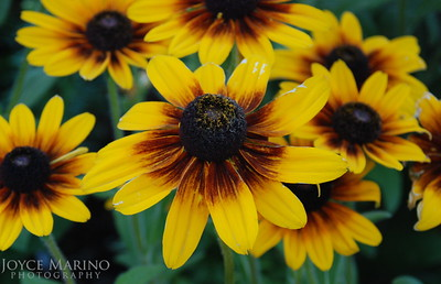 Blanket Flowers (close up) -- DSC_0019-2