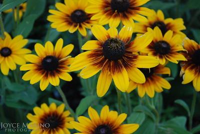 Blanket Flowers - DSC_0019