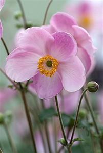Anemone 'Little Princess'