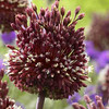 Allium amethystinum 'Red Mohican'