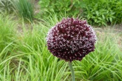 Allium 'Forelock'