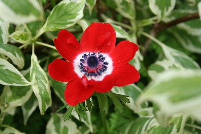 Anemone coronaria 'Hollandica'
