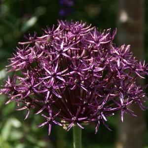 Allium'Firmament' web