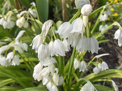 Allium paradoxa var  normale