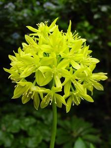 Allium moly 'Jeanine'