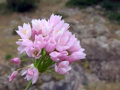 Allium roseum var  roseum